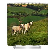 Two Welsh Lambs Shower Curtain