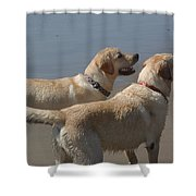 Two Yellow Labs Wait In Anticipation Shower Curtain