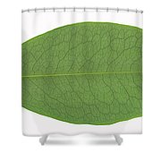 Underside Of A Coca Leaf, Erythroxylon Shower Curtain