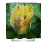 Unusual Yellow Tulip With Dew On The Petals Shower Curtain