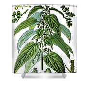 Urtica Dioica, Often Called Common Nettle Or Stinging Nettle Shower Curtain
