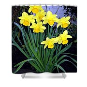 Vancouver Daffodils Shower Curtain