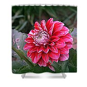 Variegated Colored Dahlia Shower Curtain