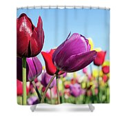Velvet Red And Purple Tulip Flowers Closeup Shower Curtain