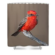 Vermilion Flycatcher Shower Curtain by Clarence Holmes