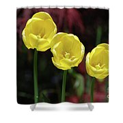 Very Blooming And Flowering Trio Of Yellow Tulips Shower Curtain