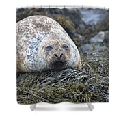 Very Chubby Harbor Seal Shower Curtain