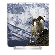 Very Large Dall Sheep Ram On The Grassy Shower Curtain