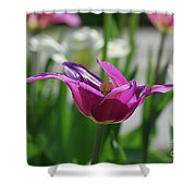 Very Pretty Blooming Purple Tulip With Spikey Petals Shower Curtain