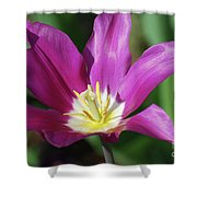 Very Pretty Dark Pink Blooming Tulip With Yellow In The Center Shower Curtain