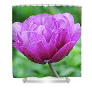 Very Pretty Lavender And Pink Tulip Blossom Flowering Shower Curtain