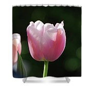 Very Pretty Pale Pink Tulip Blossom In Spring Shower Curtain