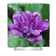 Very Pretty Purple Tulip With Dew Drops On The Petals Shower Curtain