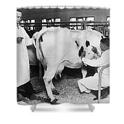 Vets Give Cow A Physical Shower Curtain