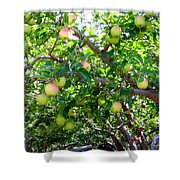 Vintage Tractor In Apple Orchard Shower Curtain by Will Borden