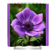 Violet Anemone Shower Curtain