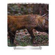 Virginian Red Fox Shower Curtain
