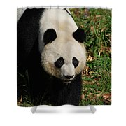 Waddling Giant Panda Bear In A Grass Field Shower Curtain