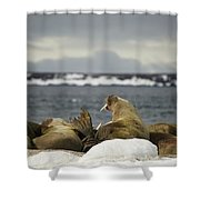 Walruses With Giant Tusks At Arctic Haul-out Shower Curtain