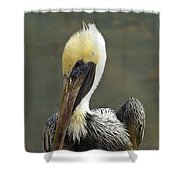 Wary Brown Pelican Shower Curtain