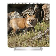 Wary Red Fox Shower Curtain