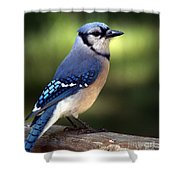 Watchful Blue Jay Shower Curtain