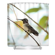 Watchful Hummingbird Shower Curtain