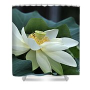 water lily 34 Yellow Lotus I Shower Curtain