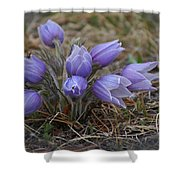 Watercolor Pasque Flowers Shower Curtain
