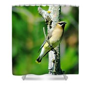 Wax Wing In A Small Branch  Shower Curtain