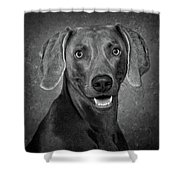 Weimaraner In Black And White Shower Curtain