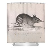 Western Barred Bandicoot. Perameles Bougainville Shower Curtain
