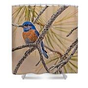 Western Bluebird Male In A Pine Tree.  Shower Curtain
