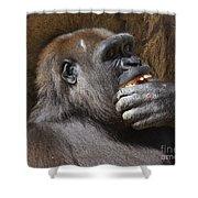 Western Gorilla, Gladys Porter Zoo, Brownsville, Texas Shower Curtain
