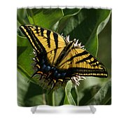 Western Tiger Swallowtail 2 Shower Curtain