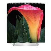 Wet Calla Lily 1 Shower Curtain