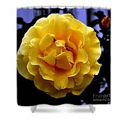 Wet Yellow Rose  Shower Curtain