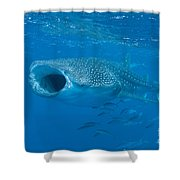 Whale Shark, Ari And Male Atoll Shower Curtain by Mathieu Meur