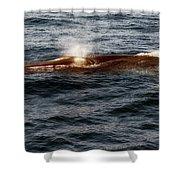 Whale Watching Balenottera Comune 7 Shower Curtain