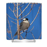 Whiskey Jack Perched On A Winter Larch  Shower Curtain