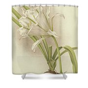 White Amaryllis   Ismene Andreana Shower Curtain