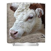 White And Brown Heifer Dairy Cow Shower Curtain
