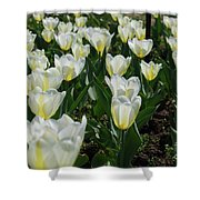 White And Pale Yellow Tulips In A Bulb Garden Shower Curtain