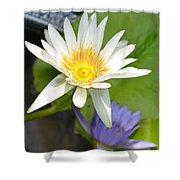 White And Purple Lotus Flowers At Golden Mount Shower Curtain
