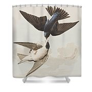 White-bellied Swallow Shower Curtain