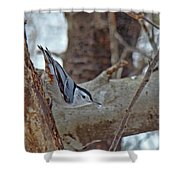 White Breasted Nuthatch - Sitta Carolinensis Shower Curtain