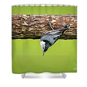 White-breasted Nuthatches Shower Curtain