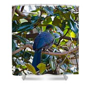 White-cheeked Turaco Shower Curtain