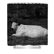 White Cow Luxuriates Shower Curtain