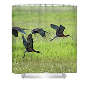 White-faced Ibis Rising, No. 2 Shower Curtain